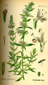 Hysope (Hyssopus officinalis L.)