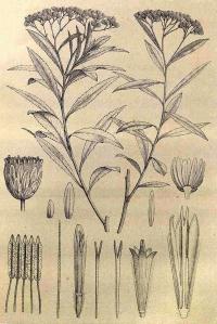 Iary (Psiadia altissima)