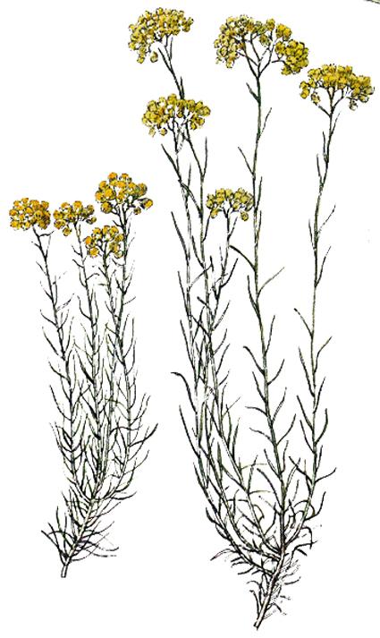 immortelle helichrysum italicum italienische strohblume phytotheque herbier herbarium. Black Bedroom Furniture Sets. Home Design Ideas
