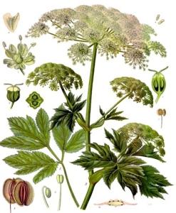 Impératoire (Peucedanum ostruthium)