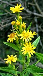 Inule visqueuse (Cupularia viscosa L.)