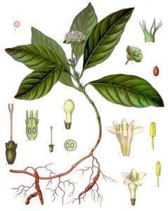 Ipéca (Carapichea ipecacuanha)