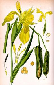 Iris des marais (Iris pseudacorus L.)