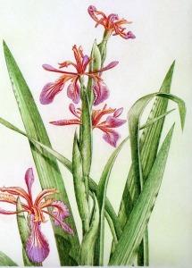 Iris fétide (Iris foetidissima L.)