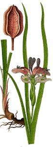 Iris (Iris graminéa L)