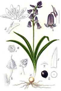 Jacinthe des bois (Hyacinthoides non-scripta L.)