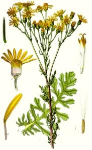 Jacobée (Senecio jacobaea L.)