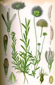 Jasione des montagnes (Jasione montana L.)