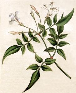 Jasmin (jasminum)