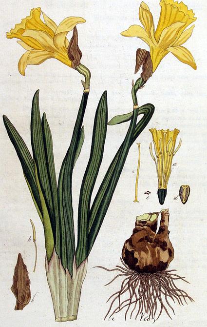 Jonquille sauvage narcissus pseudo narcissus gelbe narzisse phytotheque herbier herbarium - Jonquille sauvage des bois ...