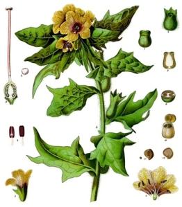 Jusquiame (Hyoscyamus niger)