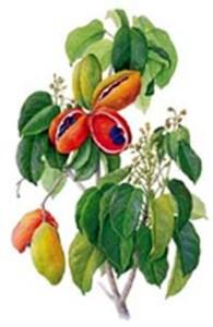 Karaya (Sterculia urens)