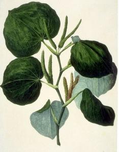Kava-kava (Piper methysticum)