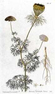 Khella (Visnaga daucoides)