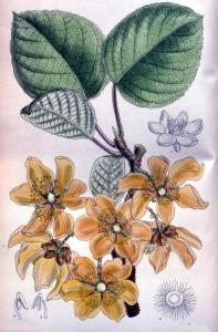 Kiwi (actinidia sinensis)
