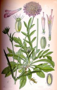 Knautie des champs (Knautia arvensis L.)