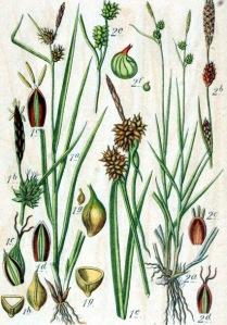 Laîche jaune (Carex lepidocarpa)
