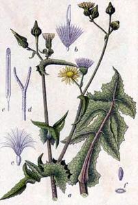 Laiteron âpre (Sonchus asper L.)