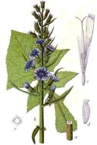 Laitue des Alpes (Cicerbita alpina)