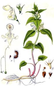 Lamier blanc (Ortie blanche)