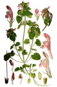Lamier pourpre (Lamium purpureum L.)