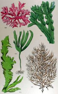 Laminaire (Laminaria digitata)