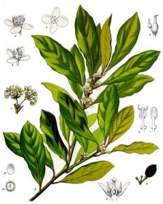 Laurier (Laurus nobilis)