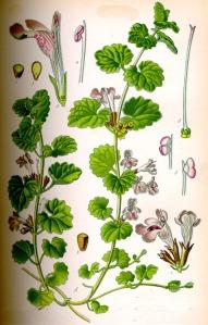 Lierre terrestre (Glechoma hederacea L.)