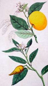 Limette (Citrus limetta)