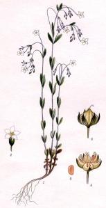 Lin cathartique (Linum catharticum L.)