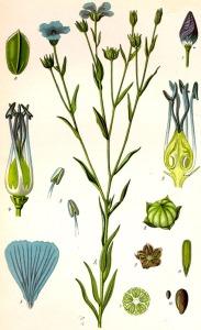 Lin cultivé (Linum usitatissimum)