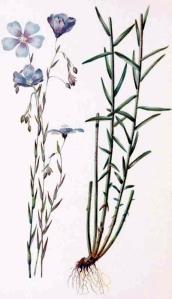 Lin vivace (Linum perenne)