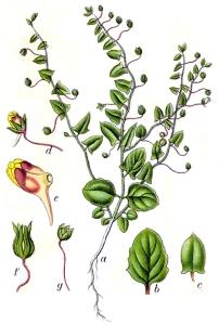 Linaire élatine (Kicksia elatine L.)