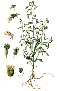 Linaire (petite) (Chaenorrhinum minus)