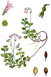 Linnée boréale (Linnaea borealis L.)
