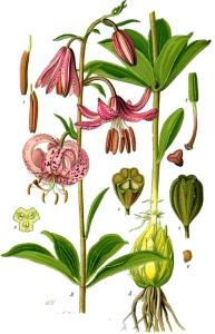 Lis martagon (Lilium martagon L.)