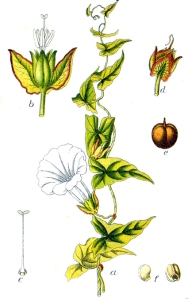 Liseron (Convolvulus Sepium)