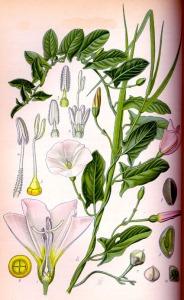 Liseron des champs (Convolvulus arvensis L.)