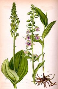 Listère à feuilles ovales (Listeria ovata L.)