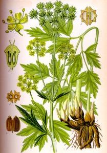 Livèche (Levisticum officinale)