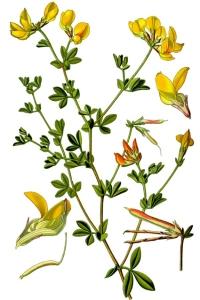 Lotier (Lotus Corniculatus