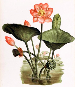 Lotus sacré (Nelumbo nucifera)