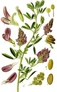 Luzerne cultivée (Medicago sativa L.)
