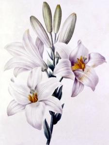 Lys blanc (Lilium candidum L)