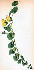Lysimaque nummulaire (Lysimachia nummularia)