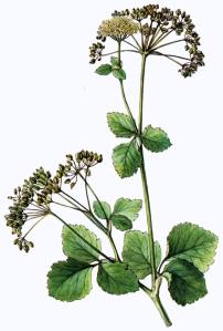 Maceron cultivé (Smyrnium olusatrum L.)