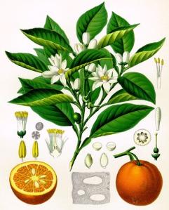 Mandarine (Citrus nobilis)