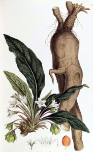 Mandragore (Mandragora officinarum)