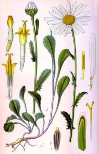 Marguerite des prés (Leucanthemum vulgare L.)