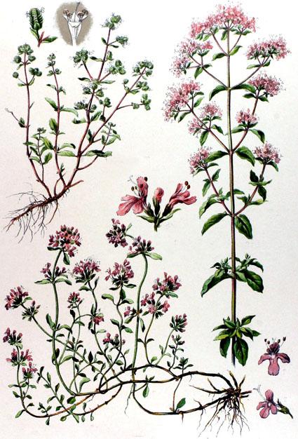 marjolaine origanum majorana majoran phytotheque herbier herbarium. Black Bedroom Furniture Sets. Home Design Ideas